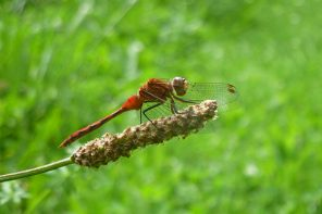 The White-faced Meadowhawk