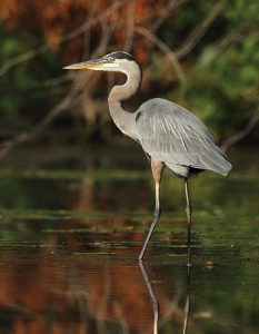 GreatBlueHeron