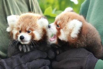 L-R: Red panda cubs Ravi and Amiya, born June 27 at the Rosamond Gifford Zoo (photo by Maria Simmons)