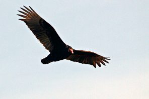 Riding the Currents of the Turkey Vulture