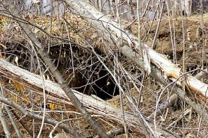 There is Life Within a Black Bear Den