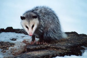 The Impossible Possum