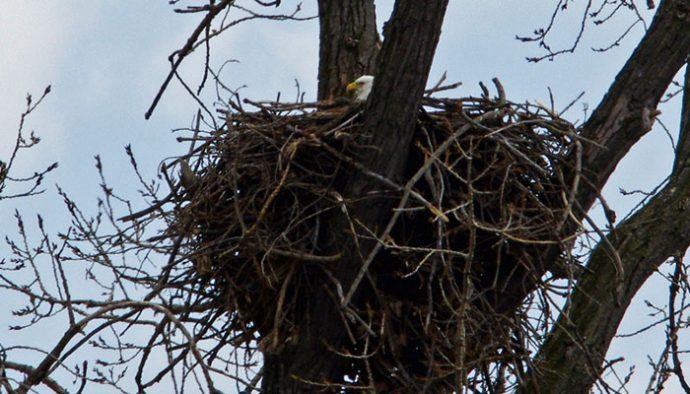 Bald Eagle Update - Life in the Finger Lakes