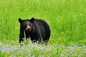 Cornell Researches Black Bear Boom in New York
