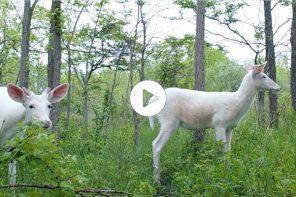 White Deer Videos!