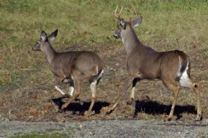 Whitetails on the Move