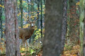 Photographing Whitetail Deer