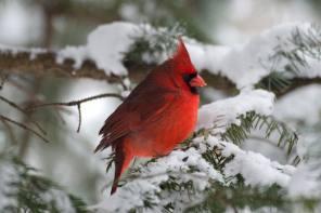 Enjoying Cheerful Cardinals