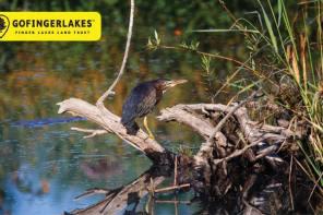 Best Birding Spots in the Finger Lakes