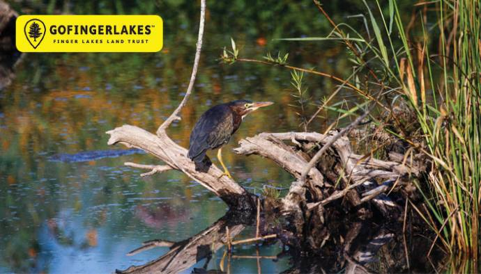 Green Heron Making Itself At Home Along >> Best Birding Spots In The Finger Lakes Life In The Finger Lakes