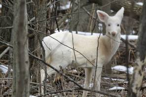 Enjoy Recent White Deer Photos