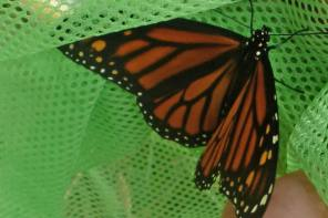 Monarch Look-Alikes and Other Mimics in Nature