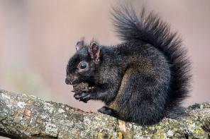"""A Black """"Gray"""" Squirrel?"""