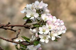 Apple Blossoms are Delayed