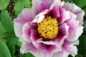 Tree Peony Festival of Flowers at Linwood Gardens