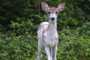 What is a Piebald Deer?