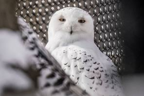 Seneca Park Zoo announces arrival of male snowy owl