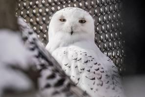 Seneca Park Zoo announces arrival of male snowy owl