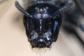 Wild Native Bees Continue to be Studied