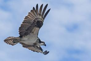 Amazing Ospreys in Next Issue