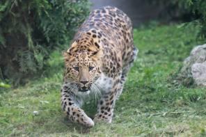 Zalie and Bob Linn Amur Leopard Woodland Opens at Rosamond Gifford Zoo