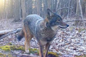 Wily Coyote Comes for a Visit